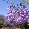 白いジャカランダを探して ~春の風物詩・南アフリカ花紀行~