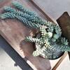 暴れる枝垂れるセダムのビアポップの新しい寝床はロックでジャンクなリメ缶!