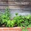夏の収穫 その3