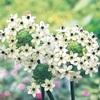 球根植物の中でいちばん好きな、オーニソガラム・ソンデルシーを買い足し
