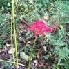 「毒蛇山荘」の庭の片隅に・・・。彼岸花が・・・。私は「毒蛇山荘」を、今朝、11時に出て、飛行機で 、東京に、7時頃着きました。