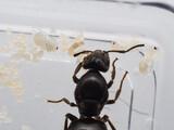 【トビイロケアリ飼育日記 5】トビイロケアリの裸蛹を観察