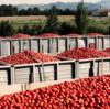 イタリアの夏と言えば「ポモドーリ」の収穫! トマト缶製造シーズンです!!! その1