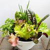 野菜の寄せ植え ベランダで食べられる野菜やハーブを育てる