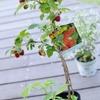 木苺を植えます♪