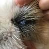 ロイの目ヤニが気になったので病院に行ったら痛みを伴う結膜炎でした