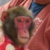 2018年 猿まわし&花こま公演のご案内