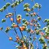 枇杷にあんず 初夏のフルーツ真っ盛り♪