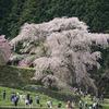 2015年4月9日。奈良 又兵衛桜。