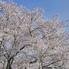 桜の写真撮ってきました~