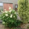 柏葉アジサイは、ゴールデンウイークに剪定しても花を楽しめる!