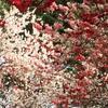 新宿御苑の多彩桜🌸
