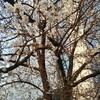 桜観察日記🌸⑥