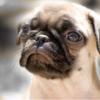 犬の膿皮症ってうつるの?