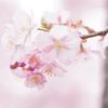 河津桜 in 鶴見緑地