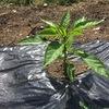 自宅でトマト以外のナス科野菜を栽培するのは初めてかもしれない