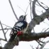 赤啄木鳥(アカゲラ)♂
