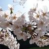 千鳥ヶ淵の桜(2021/3/24)