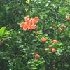 ザクロの木(°▽°)