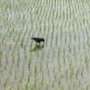 水田を闊歩するカラス