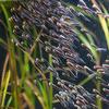 ゴンズイ Plotosus japonicus