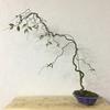 これからの時期の桜盆栽の剪定について