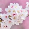 色弱で大人になっても桜は白だとずっと思っていた