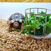 リクガメの餌「豆苗」