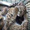 米・テキサス州で拾った子猫が急に凶暴化!実は野生のヤマネコだった!!