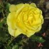 手の薔薇に蜂来れば我王の如し
