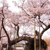 山梨県北杜市の「山高神代桜」のお花見♪