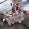 桜の開花はいつだろう。