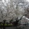 桜と雨と本門寺花まつりマラソン大会