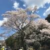 岐阜県観光大使の季節情報~岐阜市の早咲き桜~