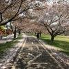 桜吹雪&サクラの絨毯ツーリング♪