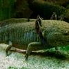 メキシコの「歩く魚」とゲノム利用とエイリアン