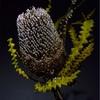 「Banksia speciosa」