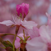 河津桜を GR III で撮っていました