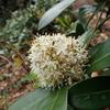 綺麗な花には毒がある? 白くて丸い有毒植物 ミヤマシキミ