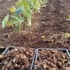 里芋の収穫、美味しい~!