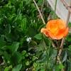 薔薇が咲いた。京都「ミンナソラノシタ」の話。