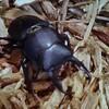 昆虫飼育記《虫画像有》クワガタの弱り