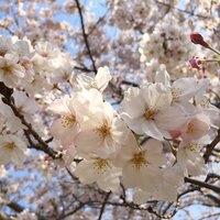 湘南の穴場!引地川親水公園の桜並木 2019