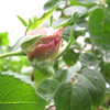 桃色のつぼみ