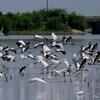 ベリーズ 飛び立つ湖の水鳥たち