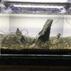 45cm水槽で超シンプルな石組み水草レイアウトを作ってみました