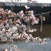 加治川治水記念公園の桜2013(新発田市)