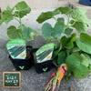森バナ農園2021⑫ 『キュウリとサツマイモ追加購入と植付け(5/29)』