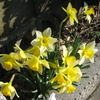 【出来事】今年も咲きました。黄水仙&水仙