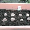 チューリップの植え付け2020